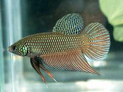 http://aquariumistika.ru/fauna/str/0104/pic.jpg