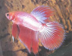 http://aquariumistika.ru/fauna/str/0107/pic.jpg