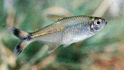 http://aquariumistika.ru/fauna/str/0147/pic.jpg