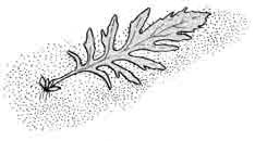 Лист гигрофилы с дочерним растением