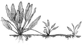 Цветочная стрелка эхинодоруса, прижатая к грунту