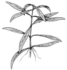 Номафила (садовая форма)