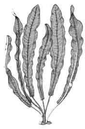 Эхинодорус большой