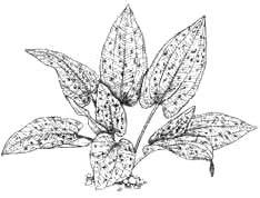 Эхинодорус крапчатый