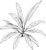 Эхинодорус мелкоцветный