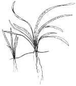 Эхинодорус нежный