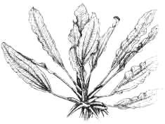 Эхинодорус озирис