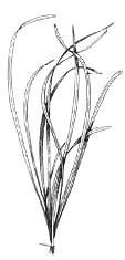 Эхинодорус узколистный