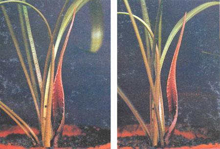 Появление цветков С. spiralis
