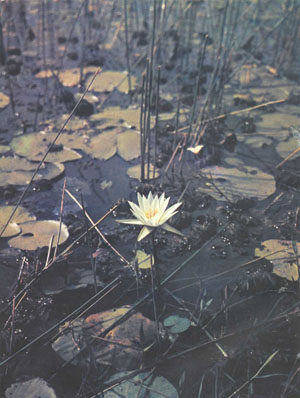 Автор рекомендует водяные лилии, такие, как эта Nymphaea stellata, но предупреждает, что они непригодны для маленьких аквариумов (фото д-ра Г. Р. Аксельрода)
