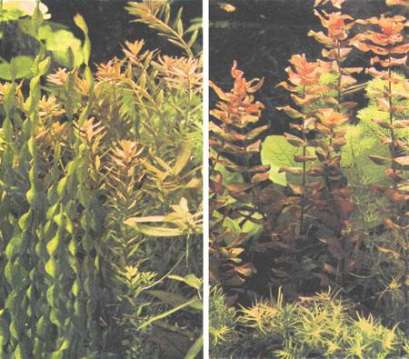 Слева — прямые узколистные растения Rotala indica; справа — Rotala macrandra (фото автора)
