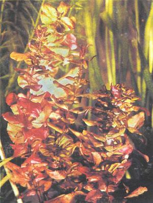 Rotala macrandra (фото Б. Каля)