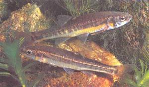 Гольян Phoxinus phoxinus