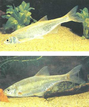 Вверху — быстрянка Alburnoides bipunctatus, внизу — уклейка Alburnus alburnus