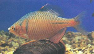 Яркоокрашенный самец Rhodeus ocellatus — еще один вид горчаков