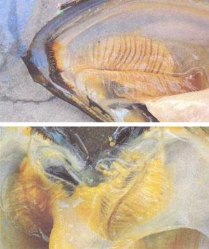 Горчаки откладывают икру в мантийную полость пресноводного моллюска