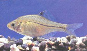 Еще один вид горчака — Rhodeus suigensis