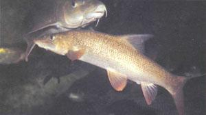Пескари Gobio gobio: вверху — взрослые, внизу — более яркие молодые рыбки (фото Б. Каля)