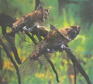 Рыба-бабочка (Pantodon buchholzi) не относится к морским рыбам-бабочкам из семейства Chaetodontidae, она гораздо теснее связана с араванами (фото Б. Каля)