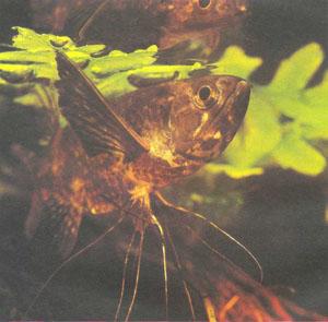 Большой рот рыбы-бабочки прекрасно приспособлен для схватывания насекомых на поверхности воды (фото Б. Каля)