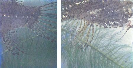 Разводить рыб-бабочек нелегко, зато их пол легко определяется по форме анального плавника: слева — самец, справа — самка (фото У. Армбруста)