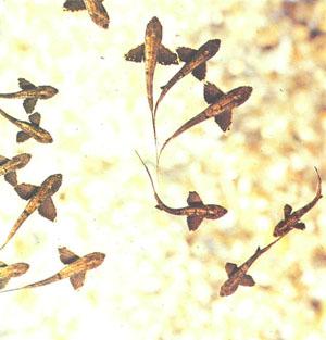 Группа мальков P. buchholzi (вид сверху); их большие крыловидные грудные плавники выражены гораздо сильнее, чем у взрослых рыб (фото Г.-Й. Рихтера)