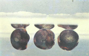 Плавающие икринки P. buchholzi (фото У. Армбруста)