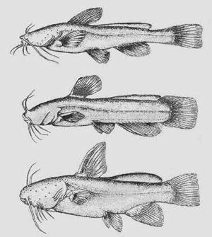 Некоторые представители американских слепых сомов (сверху вниз): Satan eurystomus, Prietella phreatophila, Trogloglanis pattersoni (рисунки автора)