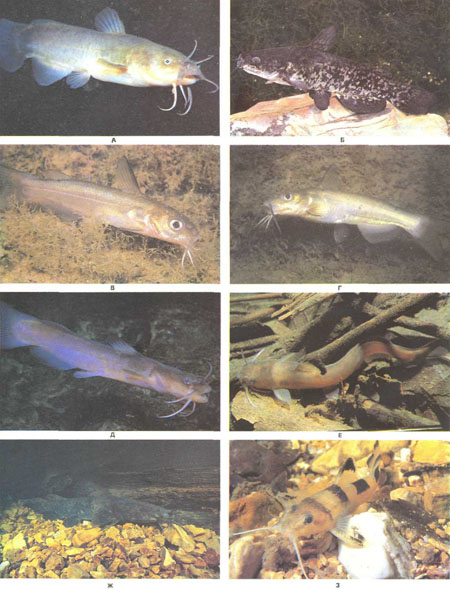 А — желтый сомик (Ictalurus natalis); Б — американский карликовый сомик (7. nebulosus marmoratus); В, Г — американские сомы-кошки (Ictalurus punctatus); Д, Е — каменные сомики (Noturus exilis); Ж — оливковый сомик (Pylodictio olivaris); 3 — каменный сомик (Noturus flavater) (фото В. Ростона)