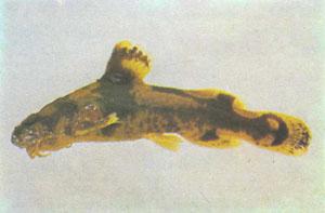 Северный каменный сомик (Noturus stigmosus) (фото д-ра Л. Пейджа)