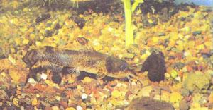 Пестрый сомик (Noturus miurus) (фото Р. Л. Мейдена)