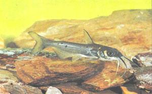 Пятнистый сом-кошка (Ictalurus punctatus)