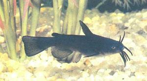 Глядя на этого подростка A. melas, сразу можно понять, почему он зовется черным сомиком (фото К. Коула)