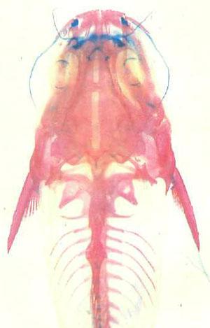 Осветленный и окрашенный А. nebulosus
