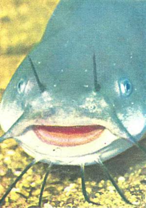 Голова A. nebulosus — опасного хищника и мусорщика