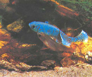 Завершающий этап нереста: рыбы расходятся, а икринки тут же опускаются в субстрат (фото автора)