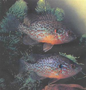 Одна из наиболее распространенных солнечных рыб — Lepomis gibbosus