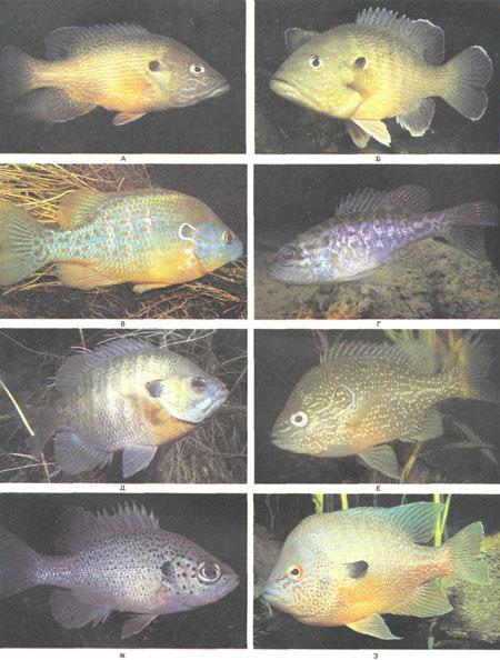 А и Б — Lepomis cyanellus; В — L. humilis; Г — L. gulosus; Д — L. macrochirus; E — L. marginatus; Ж — L. punctatus; 3 — L. megalotis, одна из наиболее красочных солнечных рыб (фото У. Ростона)