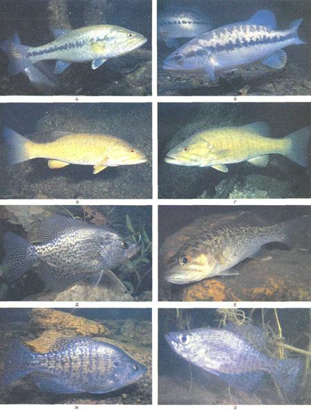 А — Micropterus salmoides; Б — Micropterus punctatus, особенно привлекательный вид; В и Г —Micropterus dolomieui; Д — Pomoxis nigromaculatus; E — Micropterus coosae; Ж и 3 — Pomoxis annularis (фото У. Ростона)