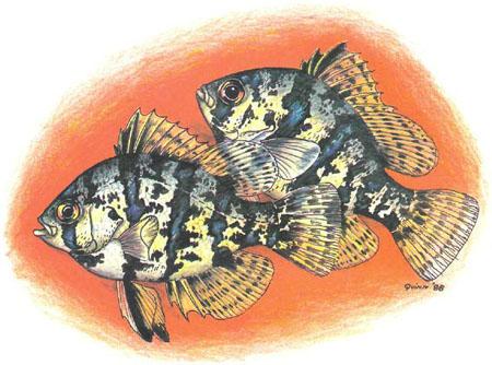 Enneacanthus chaetodon — симпатичная небольшая рыбка, хорошо адаптирующаяся к условиям аквариума (рисунок автора)