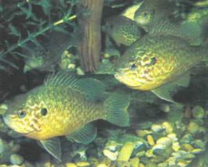 Стайка Lepomis gibbosus. Нерестящиеся самцы организуют свои территории, в остальное время взрослые и молодые рыбы многих цектрарховых держатся стайками, поэтому в аквариуме их лучше держать небольшими группками (фото Б. Каля)