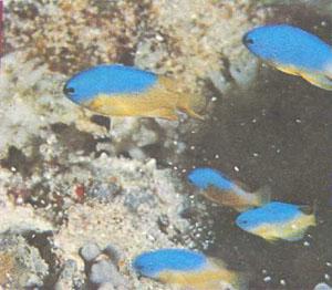 Голубые помацентриды (Pomacentrus coelestis) составляют хорошую компанию рыбам-клоунам и актиниям (фото д-ра Г. Р. Аллена)