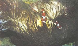 A. ocellaris среди щупалец актинии, возможно, Heteractis magnifica (фото д-ра Л. П. Занна)