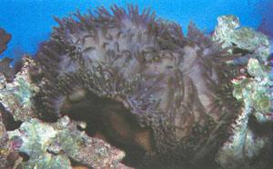 Heteractis magnifica — любимица многих видов рыб-клоунов. Однако для хорошего развития ей нужны много свободного пространства, чистая вода и хорошее освещение