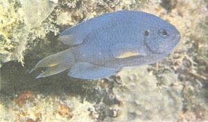 Pomacentrus pavo — еще один хороший компаньон для амфиприонов (фото д-ра Г. Р. Аллена)