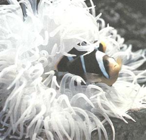 Пара Amphiprion allardi в своей актинии (фото д-ра Д. Тервера, Аквариум Нанси, Франция)