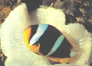Разновидность амфиприона Кларка (Amphiprion clarkii) из Шри-Ланки (фото автора)