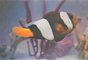 Amphiprion sebae. Обычно рыбы, продающиеся под названием «клоун Себа», относятся не к этому виду, а к Amphiprion clarkii (фото Р. Йонклааса)