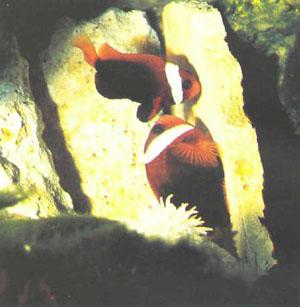 Парочка нерестящихся Amphiprion melanopus (внизу — более крупная самка) (фото автора)