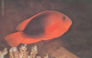 У A. ephippium обычно отсутствует белая полоса, типичная для многих видов рыб-клоунов (фото К. Пейзана)